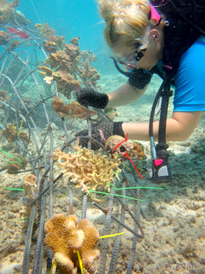 Attaching coral to the new Biorock on the Gili Islands Lombok Indonesia.