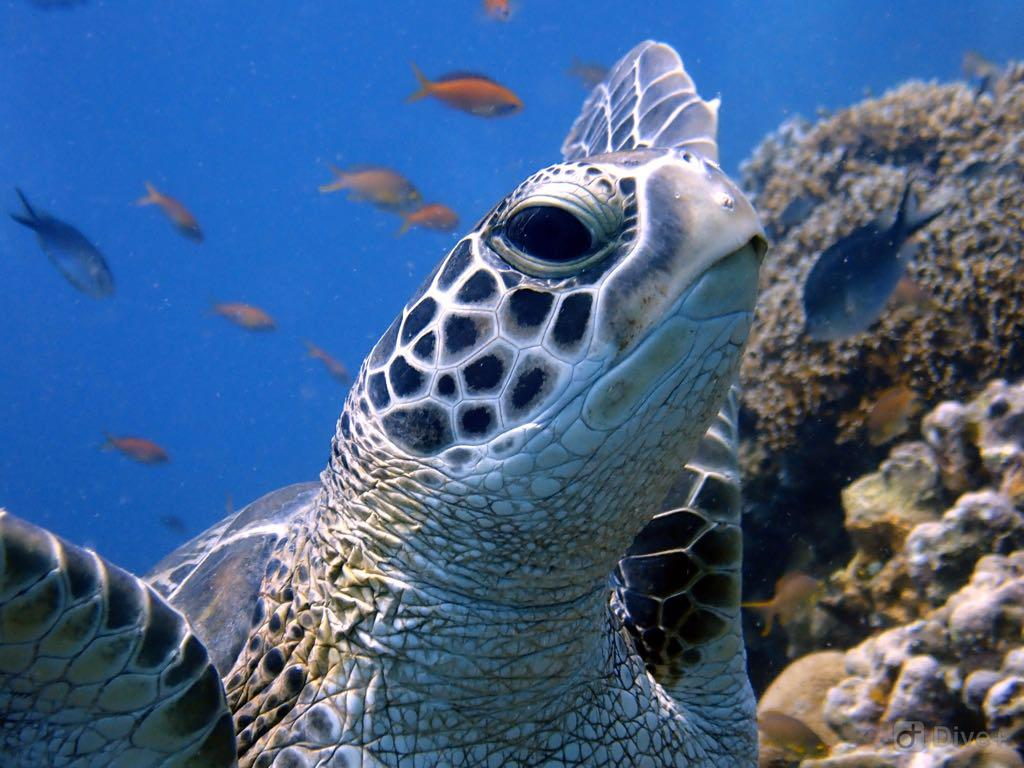 Green Turtle at Hans Reef At The Gili Islands